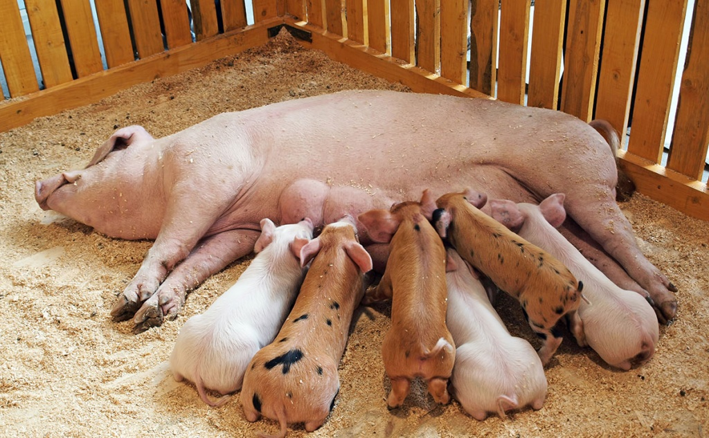 A-sow-feeding-its-piglets..jpg